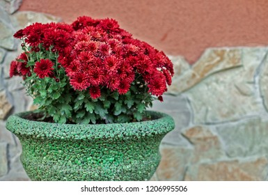Red chrysanthemums in a ceramic pot against the background of the house wall