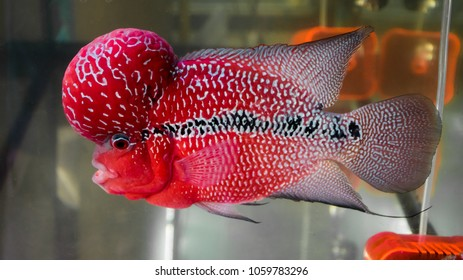 Red cichlid fish in aquarium,Flowerhorn Crossbreed Cichlid Pet Fish in Tank Water Aquarium.