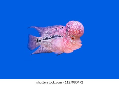 Red cichlid fish in aquarium,Flowerhorn Crossbreed Cichlid Pet