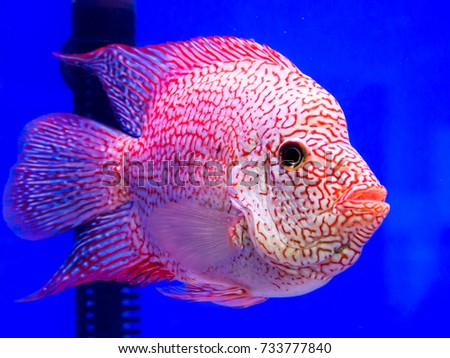 Red Cichlid Fish Blue Aquarium Stock Photo Edit Now 733777840