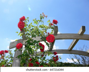 Red climbing rose with blue sky