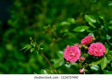 red climbing rose in summer garden near summerhouse