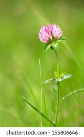 Red clover after the rain