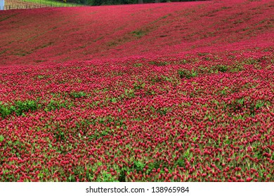 Red clover almost ready to cut in the Willamette Valley