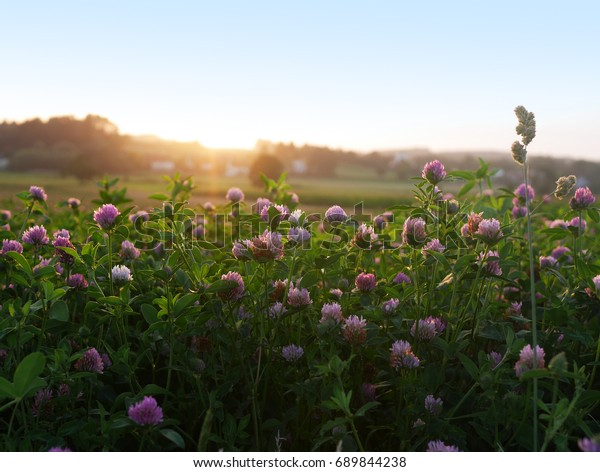 red-clover-evening-sun-600w-689844238.jp