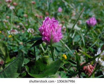 red clover, flover