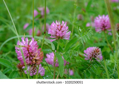 Red Clover flowers close up on a background of green foliage in spring. Blossoming clover (Trifolium pratense)