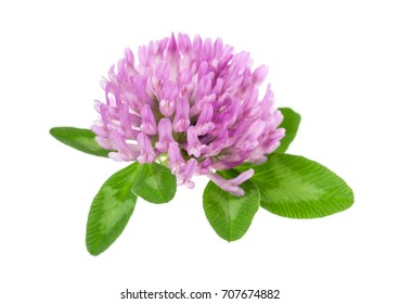 Red clover flowers and leaves isolated on white background