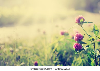 red clover in the sunny spring or summer day