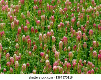 Red clover, trefoil in flower in field. Trifolium pratense, forage crop for pasturage, hay and green manure. Nitrogen fixer. Also medicinal.