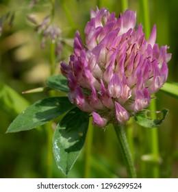 Red clover (Trifolium pratense), flowers of meadows