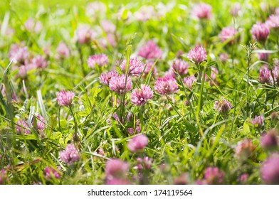Red clover or Trifolium pratense flowers growing on field in summer