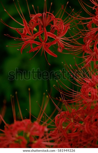 Red cluster amaryllis, blossoms of red spider lily in a field