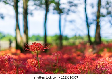 Red Cluster amaryllis in the park