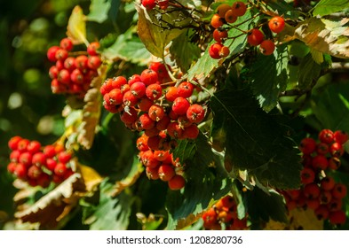 red clusters of dew