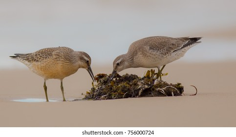 Red Cnot - Calidris canutus - on the Baltic sea shore during autunm migration, Curonian Spit, Lithuania