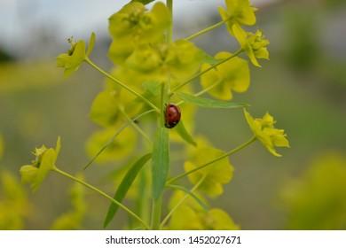Red Coccinellidae to light green plant Euphorbia helioscopia