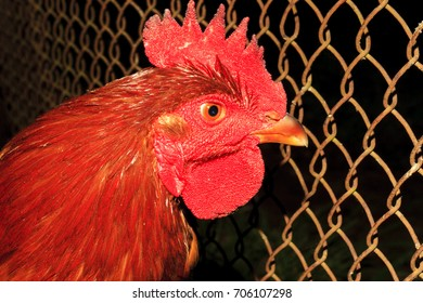 Red cock behind bars in a farm
