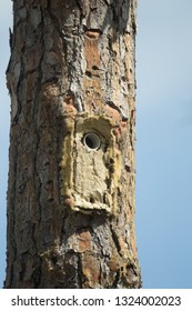 Red cockaded Woodpecker Leuconotopicus borealis  man made nesting cavity in Florida, conservation efforts Agnieszka Bacal.