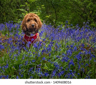 Red Cockapoo sitting amongst the bluebells in a wood