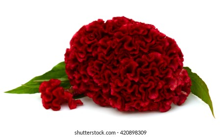 Red cockscomb flower isolated on white background. (Celosia argentea)