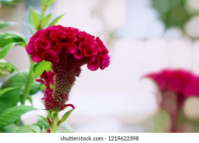 Red cockscomb flower,Chinese Wool flower, with green leaves