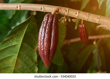 red cocoa on branch tree in american farm
