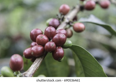 Red coffee bean in trees ready for pickup