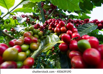red coffee beans on a coffee tree