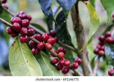 Red coffee beans ready to harvest in a tree