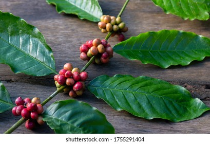 Red coffee beans ripe on a branch and wooden background.