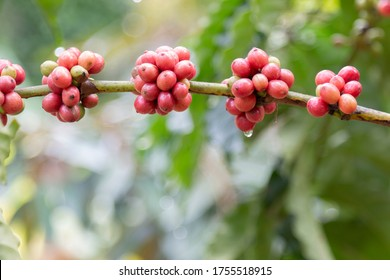Red coffee beans ripe on a branch of coffee tree.
