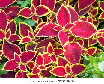 Red Coleus plant with yellow edges closeup on a flower bed, view from above