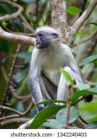 Red Colobus Monkey in forest. Zanzibar