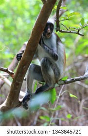 red Colobus monkey look from tree in forest