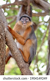 Red colobus monkey in a national park in The Gambia