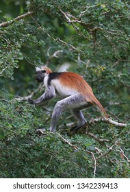 Red Colobus monkey on green tree in forest