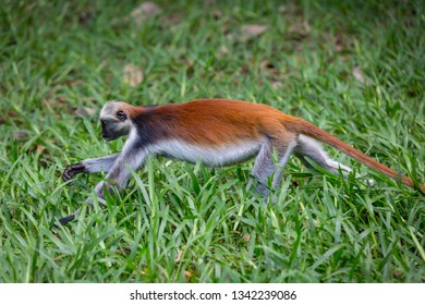 Red Colobus monkey run on grass