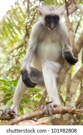 Red colobus (Piliocolobus kirkii) monkey on the branch