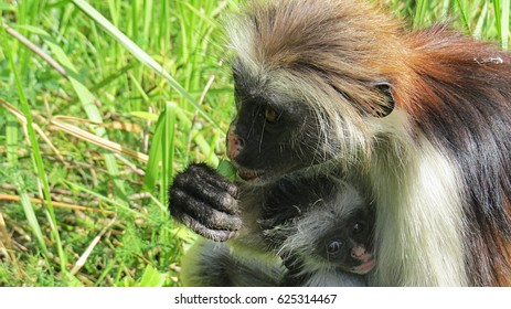 Red colobus in Zanzibar