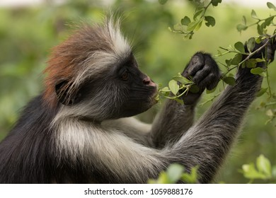 Red Colombus monkey
