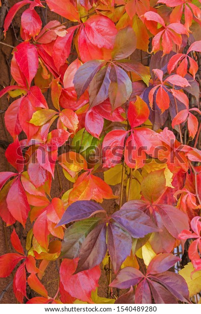 red-color-fiveleaved-ivy-species-600w-15