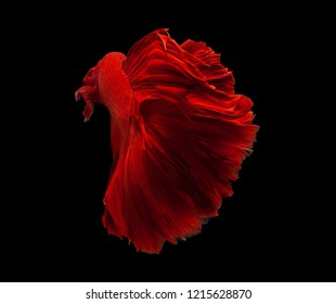 Red color Siamese fighting fish(Rosetail),fighting fish,Betta splendens,on black background with clipping path,Half Moon Male Betta