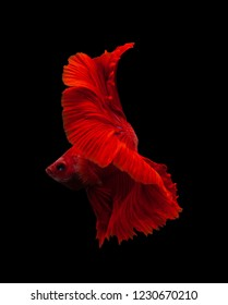 Red color Siamese fighting fish(Rosetail),fighting fish,Betta splendens,on black background with clipping path
