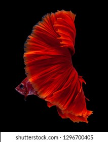 Red color Siamese fighting fish(Rosetail),fighting fish,on black background with clipping path