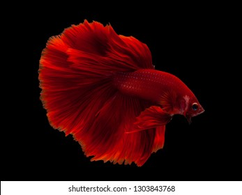 Red color Siamese fighting fish(Rosetail),fighting fish,on black background with clipping path,HalfMoon Betta
