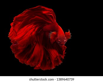 Red color Siamese fighting fish(Rosetail),fighting fish,Betta splendens,on black background with clipping path,Betta Fancy Koi Half Moon Plakat