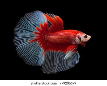 Red color Siamese fighting fish(Rosetail),fighting fish,Betta splendens,on black background,Fancy Butterfly Halfmoon Betta