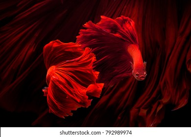 Red color Siamese fighting fish(Rosetail),fighting fish,Betta splendens,on black background,Betta Fancy Koi Half Moon Plakat
