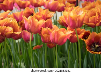 Red color tulip flowers in a garden in Lisse, Netherlands, Europe on a bright summer day